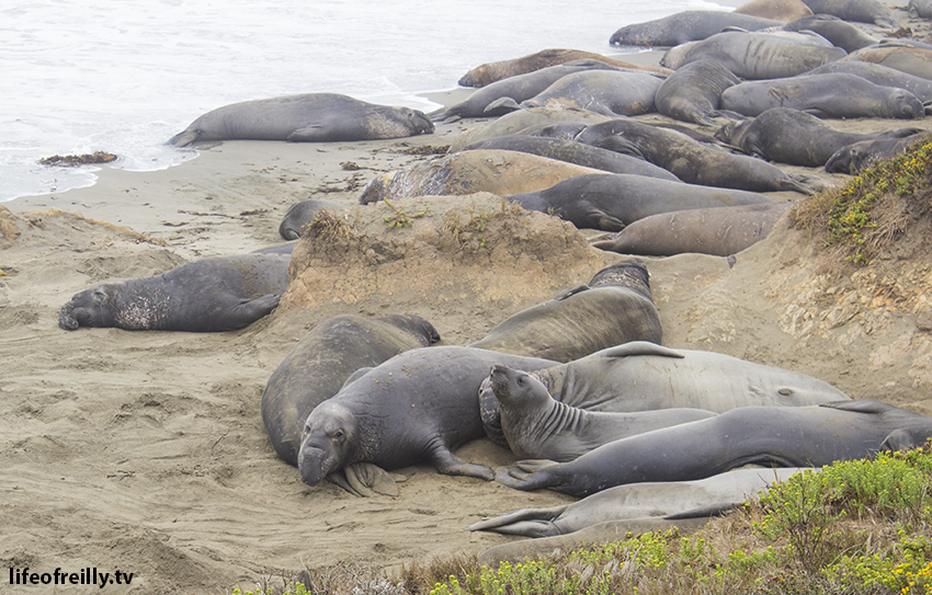 Elephant seals at near San Simeon.